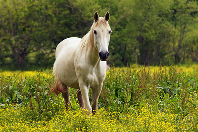 Horse in a pasture of Spring Flowers Pittman Center, Tennessee