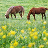 Horses and Buttercups