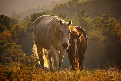 Horses Cades Cove Great Smoky Mountains National Park