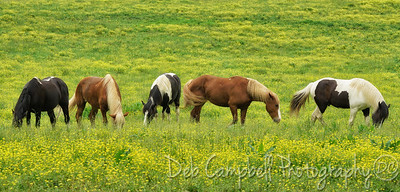 Horses in the Buttercups