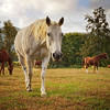 Horses<br /> Cades Cove<br /> Great Smoky Mountains National Park