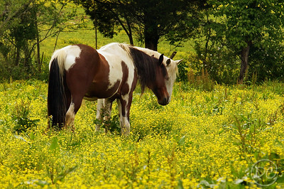 Horses in a pasture of Spring Flowers Pittman Center, Tennessee