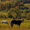 Free Range/Wild Horses