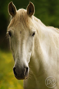 White Horse Portrait Pittman Center, Tennessee