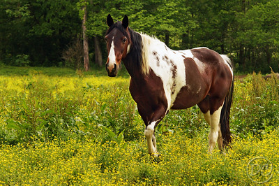 Paint Horse in a pasture of Spring flowers Pittman Center, Tennessee