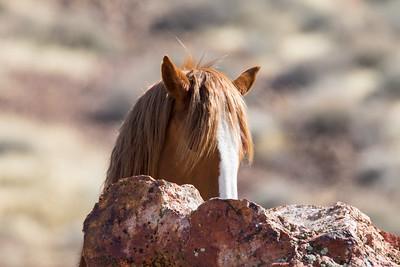 Nevada Wild Horses 2018-0890