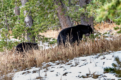 Black Bear in Yellowstoe