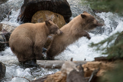 Tahoe Fall Bears 2017-8813