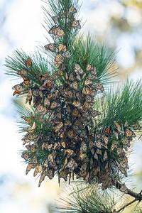 Monarch Butterflys Fall 2017-0571
