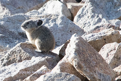 Pika Mokelomne Wilderness 2017-1