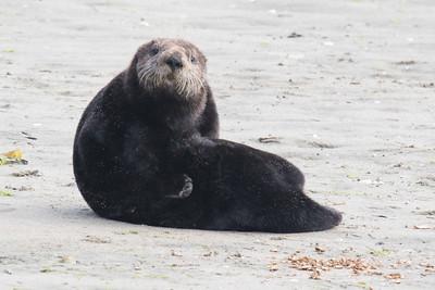 Sea Otter-3380