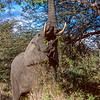 Elephant, Mala Mala, SA