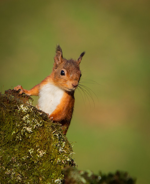 Red Squirrel Surveys