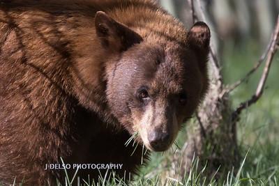 Tahoe Bear Spring 2017-9