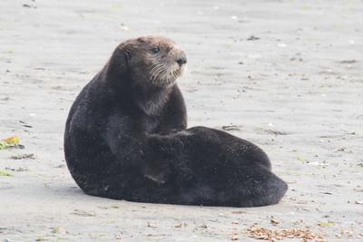 Sea Otter-3378