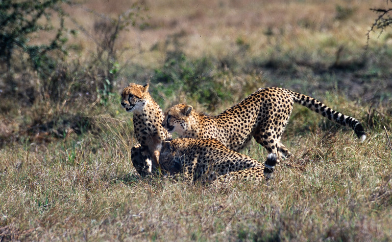 Mother cheetah teaching adolescent daughters to hunt