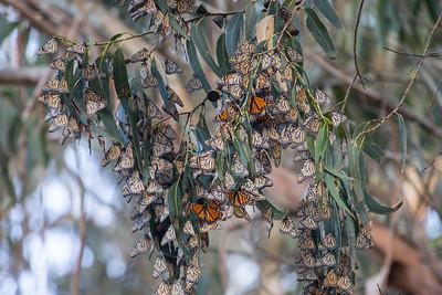 Monarch Butterflys Fall 2017-9002