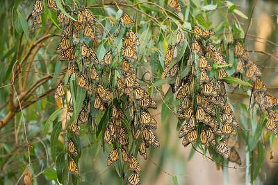 Monarch Butterflys Fall 2017-0480