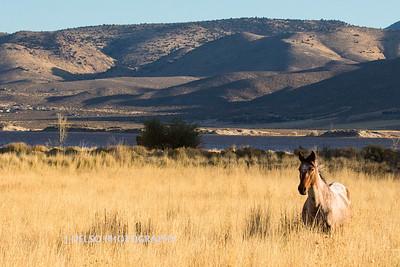 Nevada Wild Horses Fall 2017-3