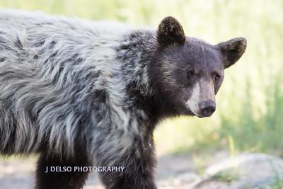 Tahoe Spirit Bear 2017-7785