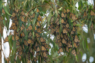 Monarch Butterflys Fall 2017-0523
