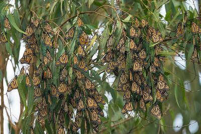 Monarch Butterflys Fall 2017-0523