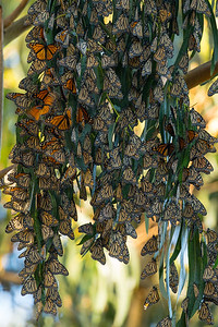 Monarch Butterflys Fall 2017-0569