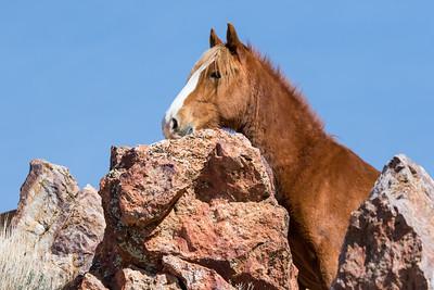 Nevada Wild Horses 2018-0915