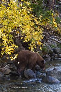 Tahoe Bear Fall 2017-4
