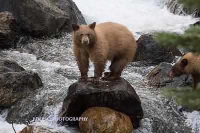 Tahoe Fall Bears 2017-8789