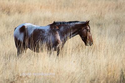 Nevada Wild Horses Fall 2017-1
