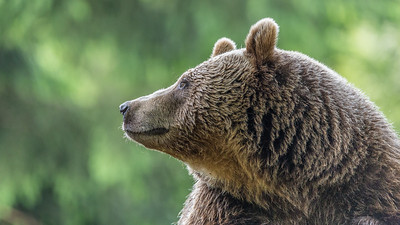 European Brown Bear  II