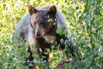 Tahoe Spirit Bear 2017-7774