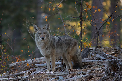 Tahoe Fall Coyote 2017-1