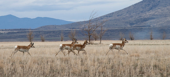 Pronghorns running through a hay field near Susanville.