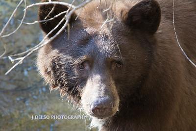 Tahoe Bear Fall 2017-2