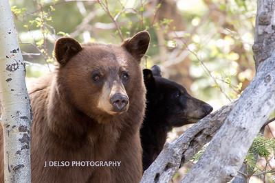 Tahoe Bears Spring 2017-18