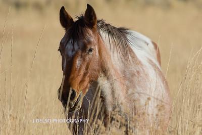 Nevada Wild Horses Fall 2017-4