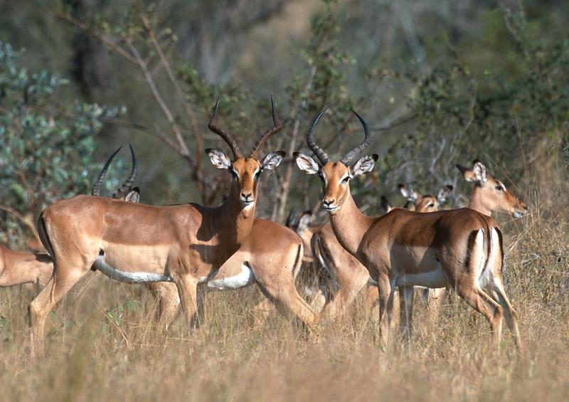 Impala on the alert