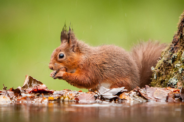 Red Squirrel in the Rain