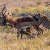Cheetah, Acinonyx jubatus