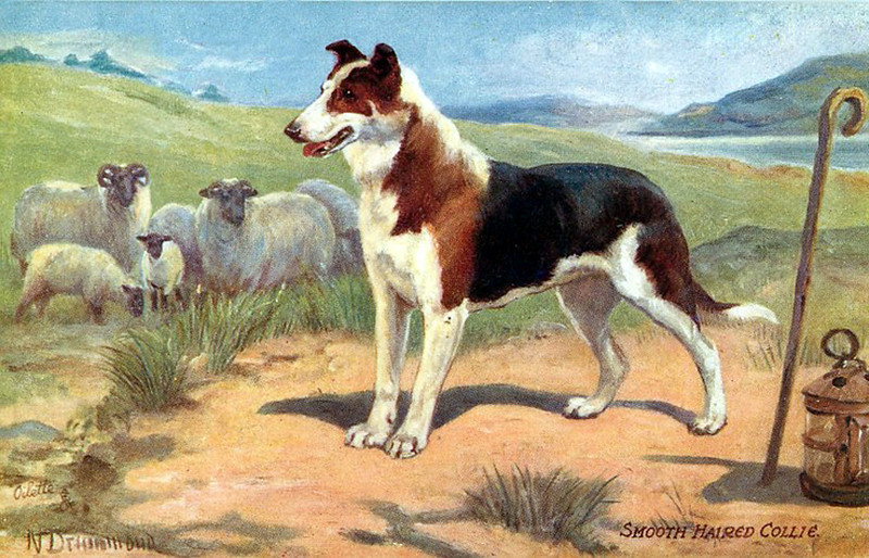 Smooth Haired Collie