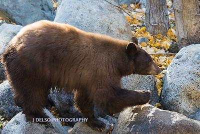 Tahoe Bear Fall 2017-3