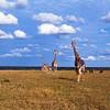 Giraffe and Cheetahs, Mala Mala, SA