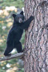 Tahoe Bear Fall 2017-1