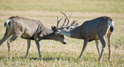 Mule Deer Bucks Sparring