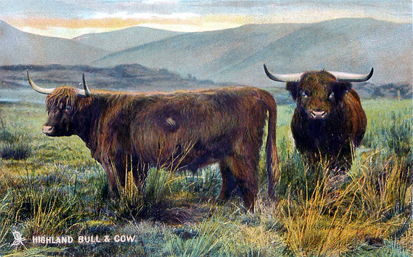 Highland Bull and Cow