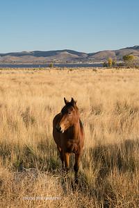 Nevada Wild Horses Fall 2017-5