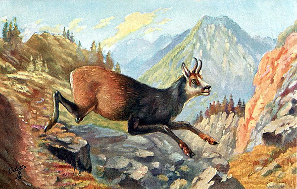 A Chamois Goat.