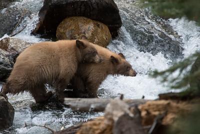 Tahoe Fall Bears 2017-8811